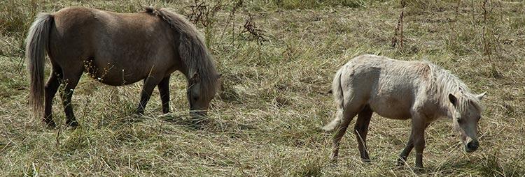 Heste ved Vennelygaard